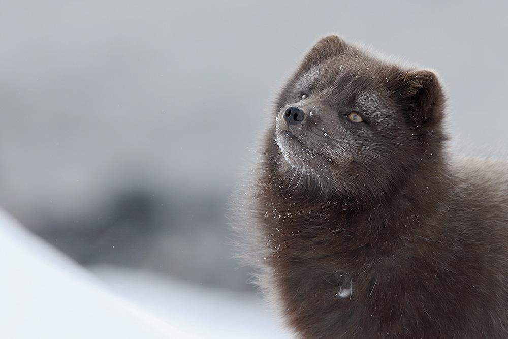 Arctic Fox in snow - Arctic Nature Hotel Iceland