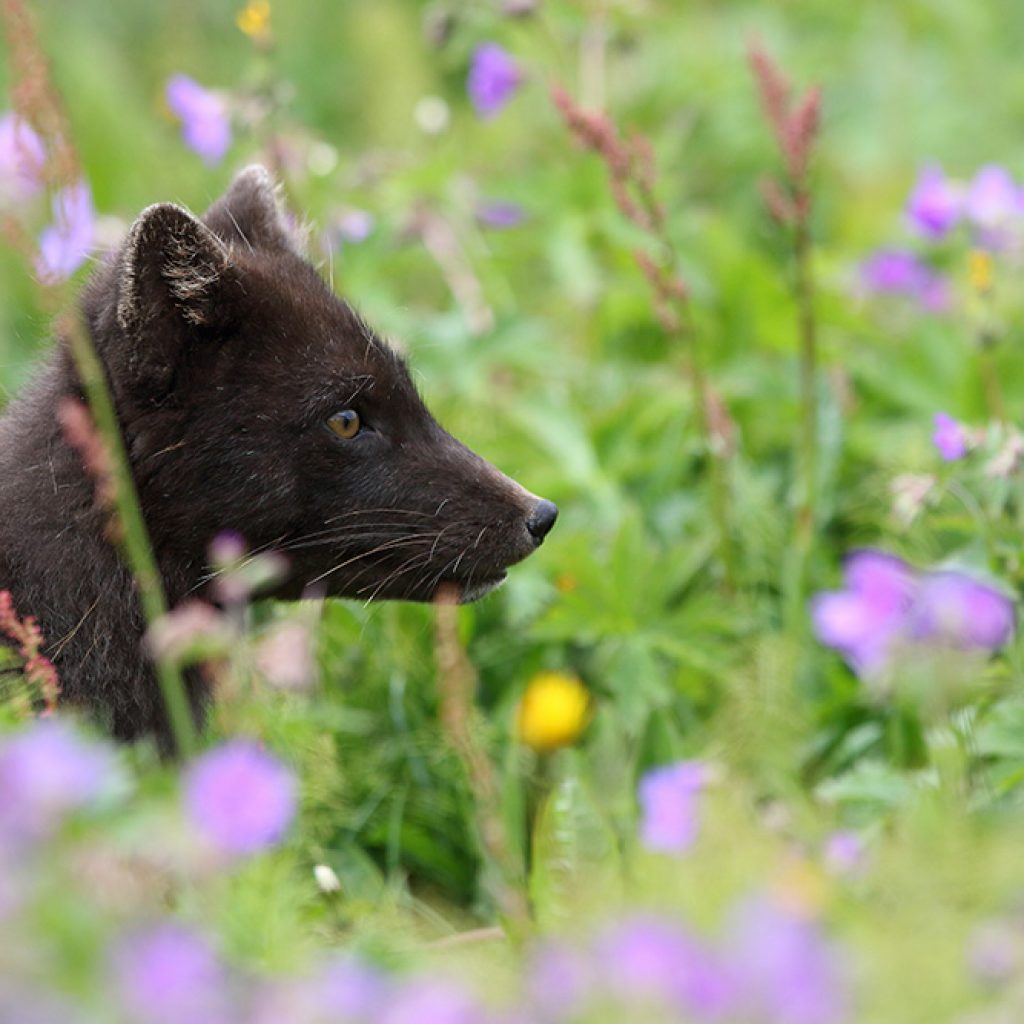 Brown arctic fox - Arctic Nature Hotel Iceland