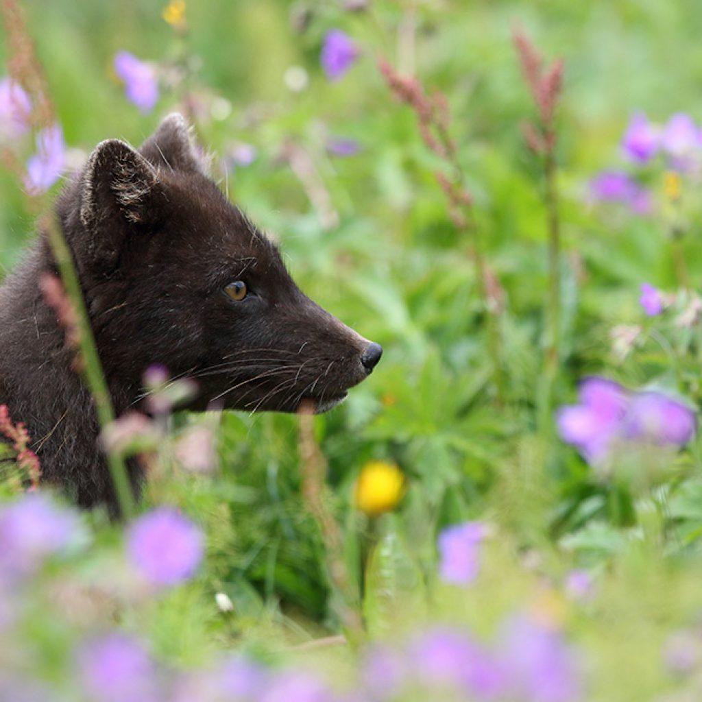 Brown arctic fox - Arctic Nature Hotel Iceland