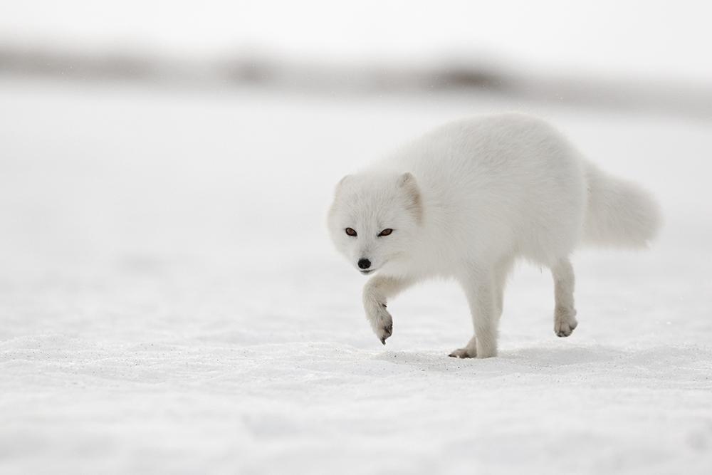 White Arctic Fox - Arctic Nature Hotel Iceland