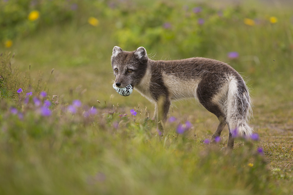Arctic fox with egg - Arctic Nature Hotel Iceland